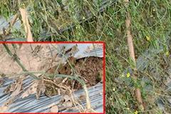 Nông dân ngậm đắng nhìn 8 sào rau màu trị giá cả trăm triệu bị phá nát khi đang cho thu hoạch