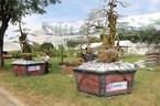 Cận cảnh cặp khế 'đầu voi đuôi chuột' giá 12 tỷ của đại gia Tây Ninh