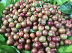 Mận đầu mùa: 200 ngàn/kg chị em thèm chua vét sạch