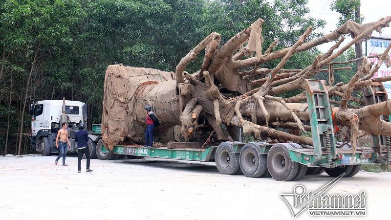 Cục CSGT: Không có 'bảo kê' xe chở cây 'quái thú' lọt 19 tỉnh thành