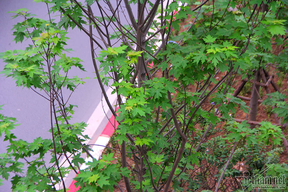 cây phong lá đỏ,Hà Nội,phong lá đỏ