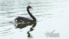 Thiên nga đen hồ Thiền Quang bị thương do trúng lưỡi câu trộm