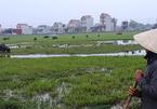 Chỉ có ở Thanh Hóa: Chăn trâu bò phải đóng phí cỏ