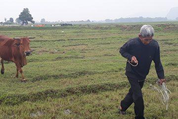 Chăn trâu bò phải đóng phí cỏ ở Thanh Hóa: Diễn biến mới nhất