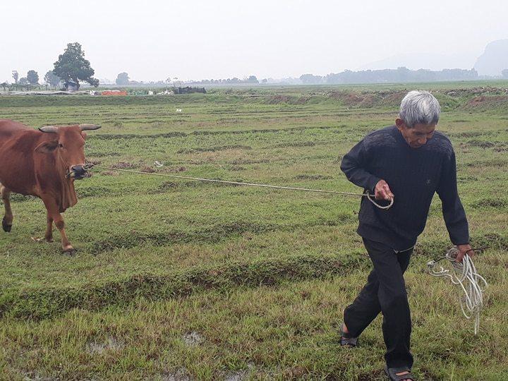 thu phí trâu bò,Thanh Hóa