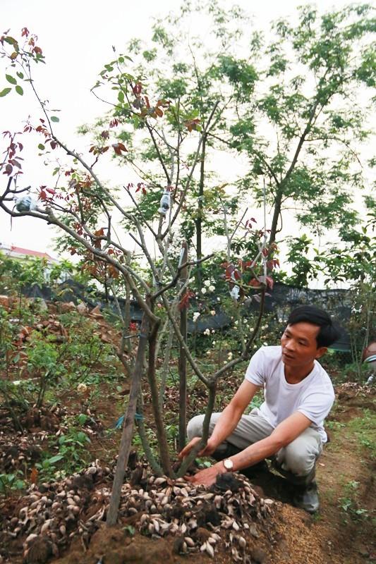 Ngắm vườn hồng cổ 'nghìn người mê' của anh nông dân Ninh Bình
