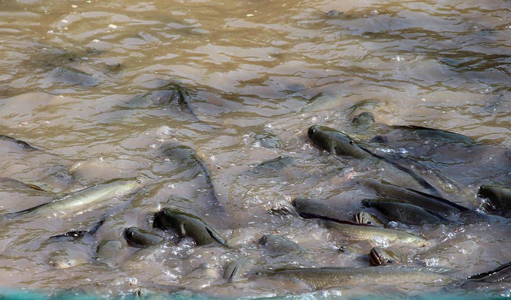 Kỳ lạ đàn cá lóc bay theo nhịp lệnh... vạn người đổ về xem