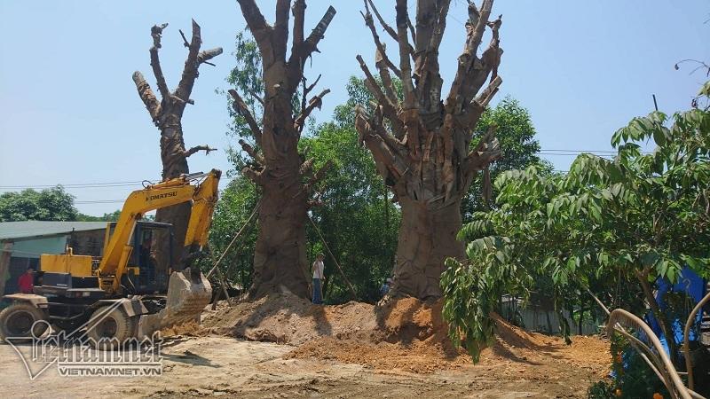 Hé lộ đích đến và hợp đồng trăm triệu chở cây 'quái thú'