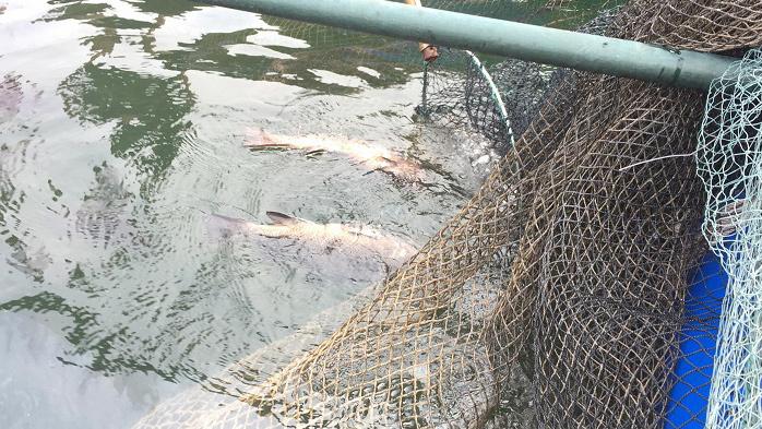 Hàng loạt lồng bè cá, mực nhảy ở Vũng Áng chết bất thường