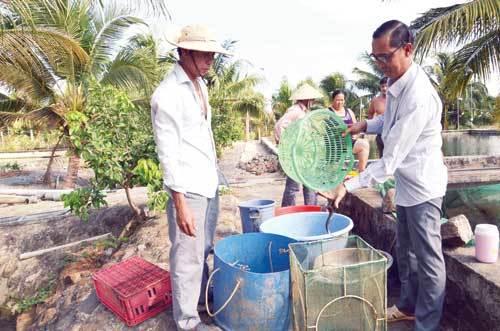 Ông Phan Văn Hùng Chủ tịch HĐQT HTX nuôi cá Suối Giàu (phải) phân loại con giống cá chình để xuất bán.