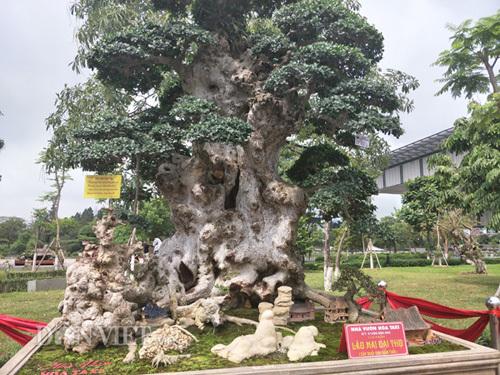 cây cảnh,duối cổ