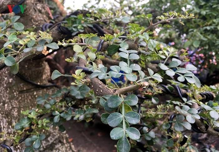 Ngắm cây cần thăng dáng 'độc', giá hơn 10.000 USD
