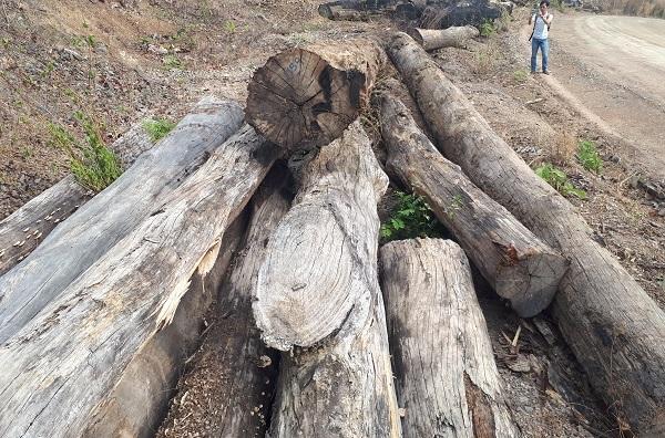 Vụ gỗ lậu ở Đắk Lắk: Bắt khẩn cấp trùm Phượng 'râu' và đồng phạm