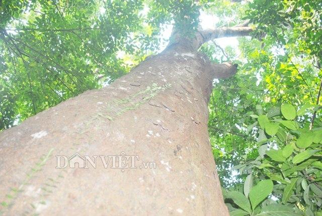 gỗ lim,cây cổ thụ