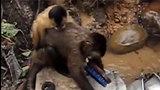 Chú khỉ chăm chỉ nhất thế giới: Vừa trông con vừa rửa thau