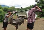 'Quái ngư' sông Đà và những cuộc vật lộn ly kỳ giữa người và cá