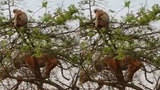 Hổ trèo lên cây bắt khỉ và cái kết bất ngờ