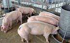 Thịt lợn bật tăng, chạm mốc 40.000 đồng/kg