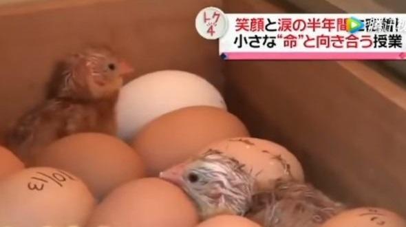 Lớp học dạy học sinh nuôi gà trước khi giết thịt gây tranh cãi