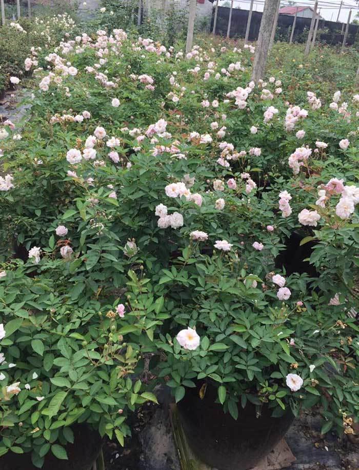 Từ vườn hồng ngập sắc hoa,mỗi tháng anh bán khoảng 1.000 gốc hoa các loại