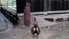 """Chú gà cần mẫn """"luyện chân"""" để chuẩn bị chiến đấu"""