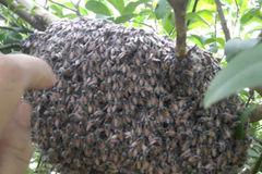 Hai vợ chồng bị đàn ong mật đốt gần 400 mũi