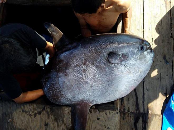 Ngư dân câu được cá mặt trăng dài 1 m