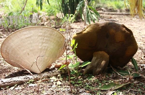 Phát hoảng thấy nấm lạ lớn bằng nón lá chỉ sau vài giờ