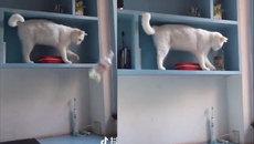 Chú mèo biết cách phá hoại nhất thế giới