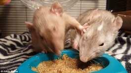 Xem hai con chuột giành nhau thức ăn như trẻ con