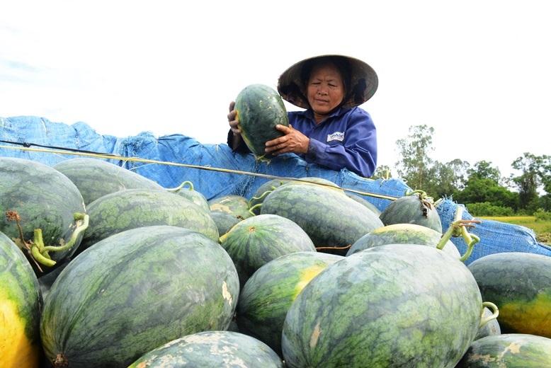 Bà Nguyễn Thị Phương, trồng hơn 5 sào dưa tại thôn An Mỹ 1 (xã Tam An, huyện Phú Ninh).