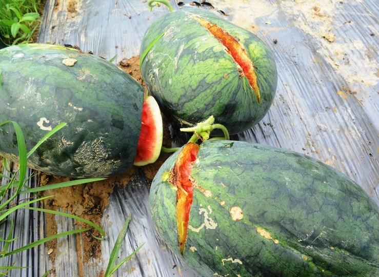 Người dân như ngồi trên đống lửa, khi nhiều trái dưa đã tự hư hỏng, thối rửa do đã quá thời gian thu hoạch.