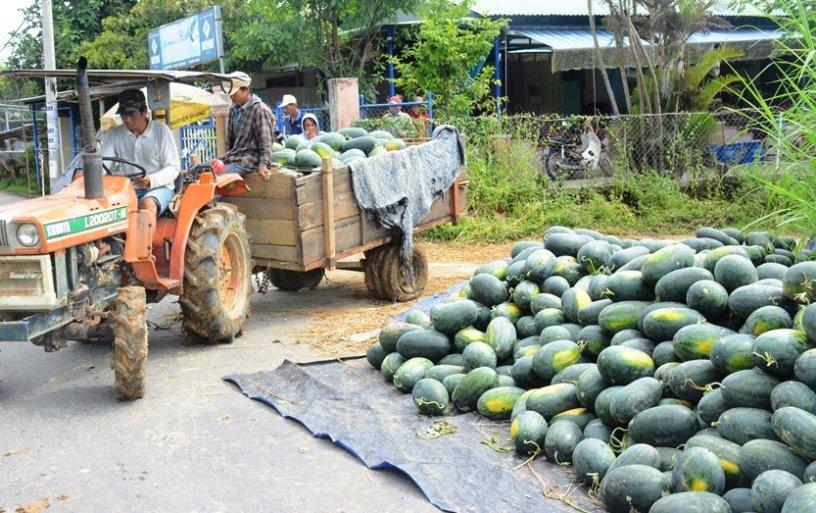 Hàng tấn dưa thu hoạch chỉ biết nằm chờ thương lái đến thu mua.