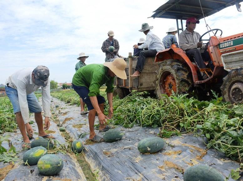Theo người dân trồng dưa, năm nay dưa được mùa nhưng không tìm ra thương lái để thu mua...