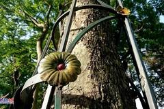 Lạ lùng cây sưa đỏ được bọc thép trong công viên