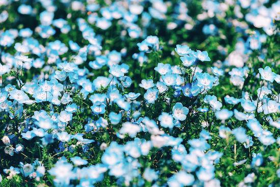 Thiên đường hoa mắt xanh ở Nhật Bản khiến du khách choáng ngợp
