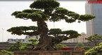 Chiêm ngưỡng bộ đôi cây sanh cổ trăm năm, giá chục tỷ đồng ở Hà Nội