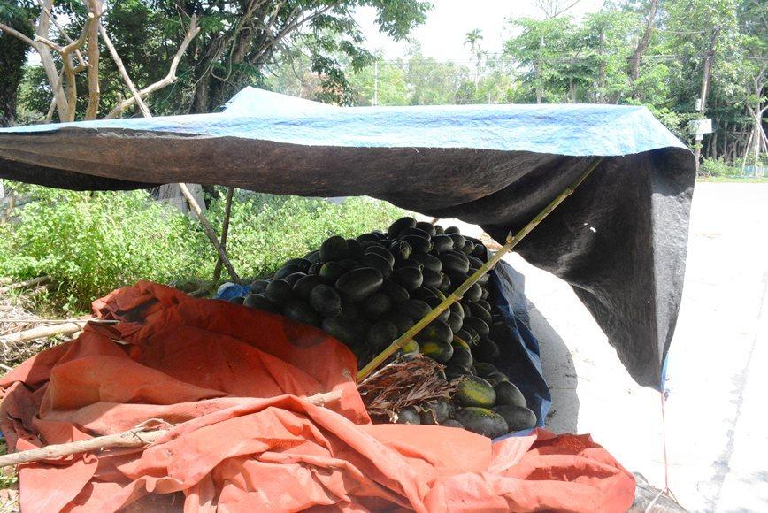 Người dân nuốt nước mắt bên 3.000 tấn dưa hấu 'thoi thóp' chờ cứu