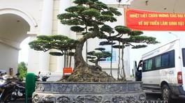 Siêu cây 15 tỷ dáng 'Long cổ đại' không bán của đại gia Hải Dương