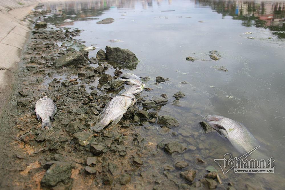 các chết,cá chết ở Hạ Long,Hạ Long,Quảng Ninh