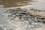 Cá chết hàng loạt, ruồi nhặng bâu kín bốc mùi giữa TP Hạ Long
