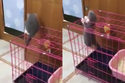 Màn tẩu thoát ngoạn mục của chú mèo thông minh