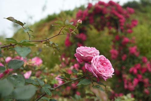 Thiên đường hoa hồng dưới chân núi Fansipan