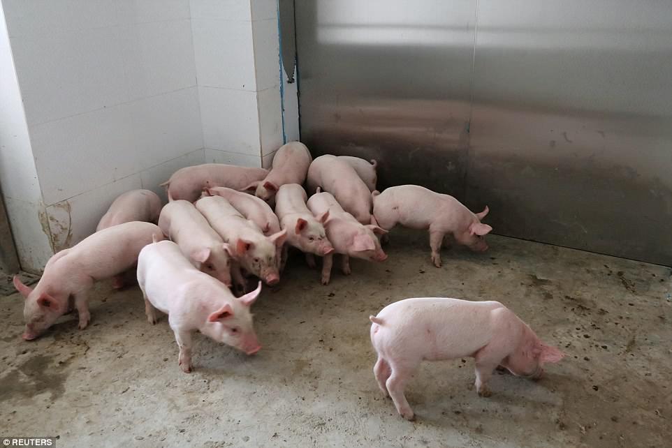 khách sạn,lợn,trang trại,Trung Quốc