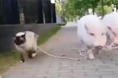 Lợn dắt mèo đi... dạo