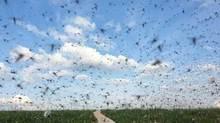 Đàn muỗi khổng lồ che kín bầu trời, đe dọa Nga