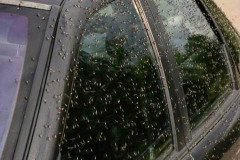 Muỗi ăn thịt người