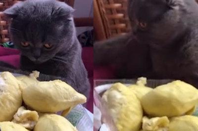 Tò mò thử ngửi sầu riêng, mèo lăn quay ngất xỉu