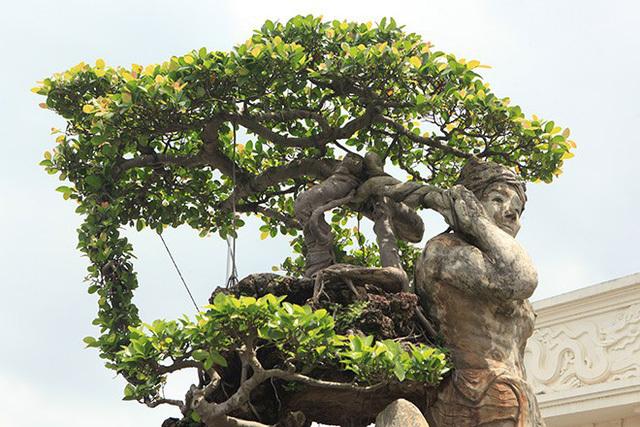 cây sanh,cây cảnh,chơi cây,siêu cây