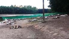 Cả ngàn con vịt bỗng lăn đùng ra chết nghi bị đầu độc